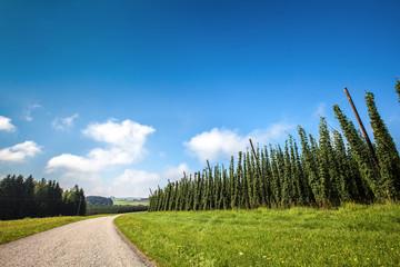 Hops Crops - Landscape