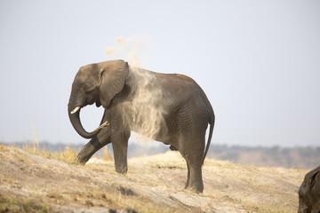 Portrait of wild african elephant dust bathing