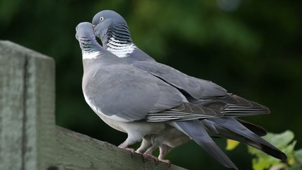 A pair of wood pigeons mating on a fence