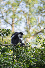 De Brazza monkey eating in treetops Cercopithectus neglectus