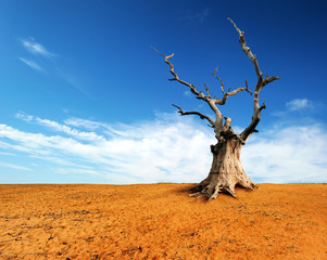 Large old and dead tree on dry desert land with blue sky and whi