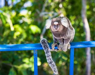 Monkey Marmoset in Rio de Janeiro. Brazil