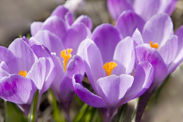 Crocuses purple