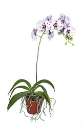 Flowering Phalaenopsis Orchid with Roots Climbing out of Pot