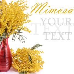 Yellow mimosa  isolated on white background