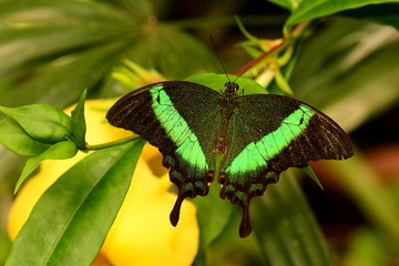 Green Moss peacock butterfly portrait.