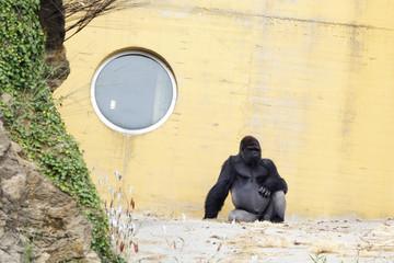 The western lowland gorilla (Gorilla gorilla)