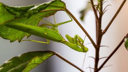Green Mantis On a Swinging Leaf