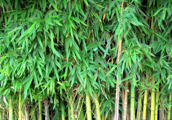 bamboo growing in nature showing lots of leaves