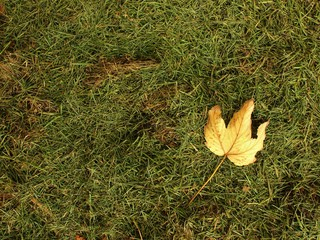 Fallen dry maple leaf. Decay harvested grass in big green mound.