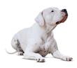 lying adult Dogo Argentino. Isolated on white