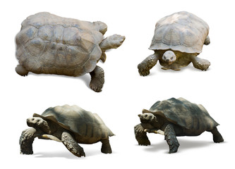 Set of African spurred tortoises