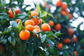 tangerines  branch on tree