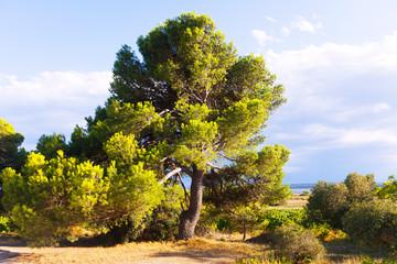 Mediterranean landscape with pine