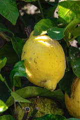 A yellow ripe lemon hanging from the tree