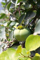 Unreife Kaki-Früchte