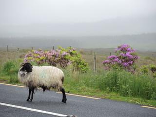 Mouton irlandais 9