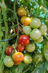 Cherry tomatoes on the tree