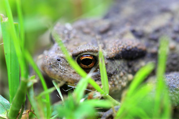 The little brown Toad