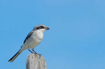 Loggerhead Shrike perching