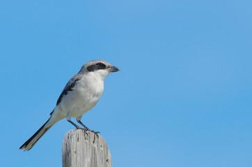 Loggerhead Shrike perching
