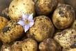 New potatoes with purple potato flower.