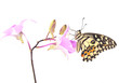 butterfly on pink Orchid flower