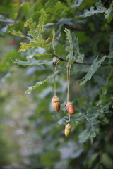 Wundervolles Herbstmotiv mit drei Eicheln