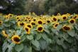 canvas print picture - Wunderschöne Sonnenblumen