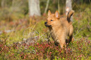 10 weeks old Finnish Spitz puppy
