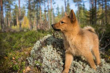 10 weeks old Finnish Spitz puppy