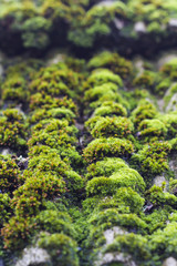 moss on old roof tiles