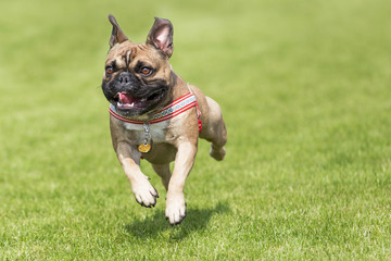 Running french bulldog whelp