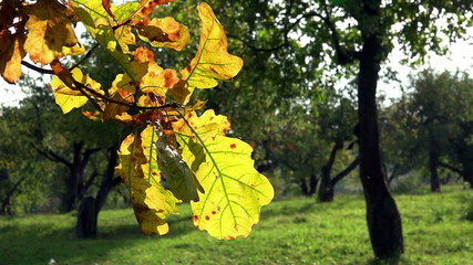 Yellow Oak Leaves waving - FullHD