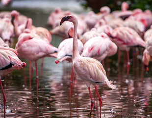 A flock of pink flamingos and reflection in the water.