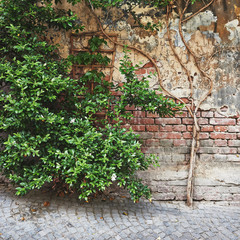 Green tree on a background of an old brick wall