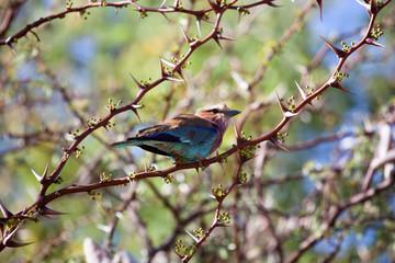 Uccello namibia ghiandaia