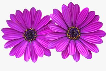 purple daisies on white