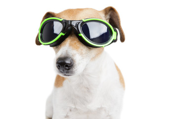 Cute little dog with glasses for swimming