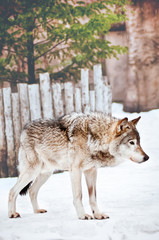Wild wolf on the snow