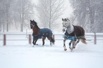 Two horses running on snow misty morning