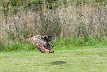 Close up of an European Eagle Owl flying