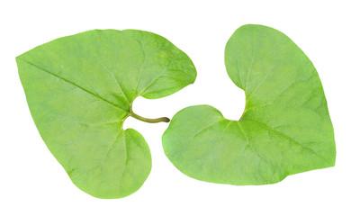 Medicinal herb coltsfoot 6