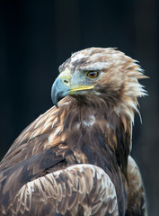 Close up of a Golden Eagle