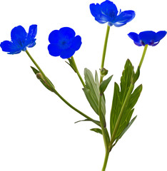 four small blue flowers isolated on white