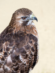 Close up of a Red Tailed Buzzard