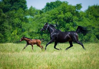 Gallop Arabian horses