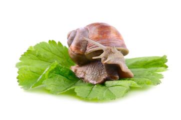 Helix Aspersa snail