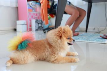 pomeranian dog cute pet in home