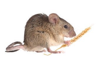 Field Mouse holds in paws an ear of wheat. isolated